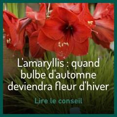 les-amaryllis
