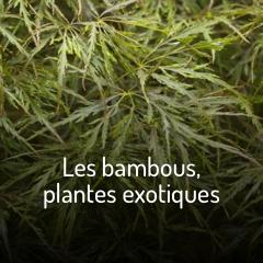 les-bambous-plantes-exotiques