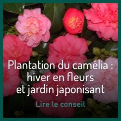 les-camelias