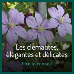 les-clematites-elegantes-et-delicates