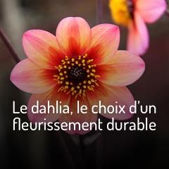 les-dahlias