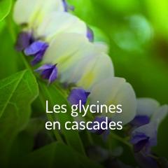 les-glycines-en-cascade