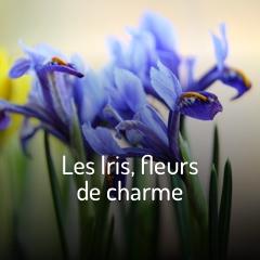 les-iris-fleurs-de-charme