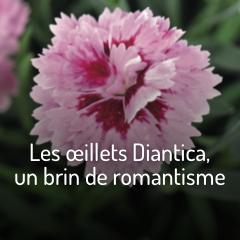 les-oeillets-diantica-un-brin-de-romantisme