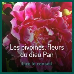 les-pivoines-fleurs-du-dieu-du-pan