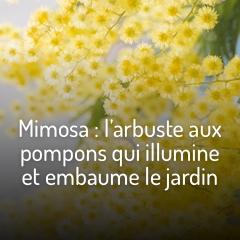 mimosa-l-arbre-de-l-hiver