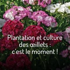 plantation-et-culture-des-oeillets