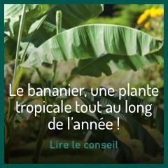 planter-bananier