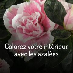 colorez-votre-interieur-avec-les-azalees