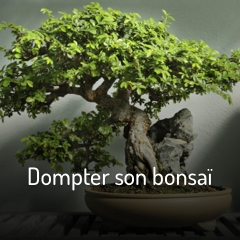 dompter-son-bonsai