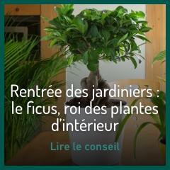 ficus-roi-des-plantes-d-interieur