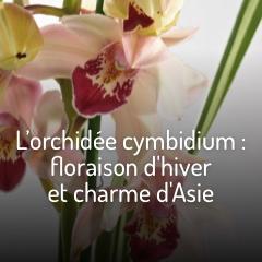 le-cymbidium