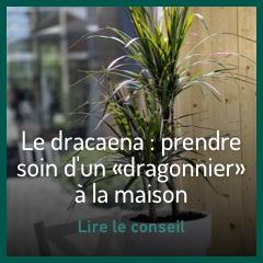 le-dracaena