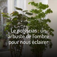 le-polyscias-un-arbuste-de-l-ombre-pour-eclairer-nos-interieurs