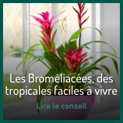 les-bromeliacees-des-tropicales-faciles-a-vivre
