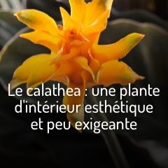 les-calatheas