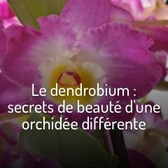 les-dendrobiums