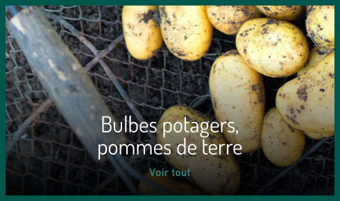 Bulbes potager