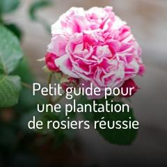 planter-ses-rosiers