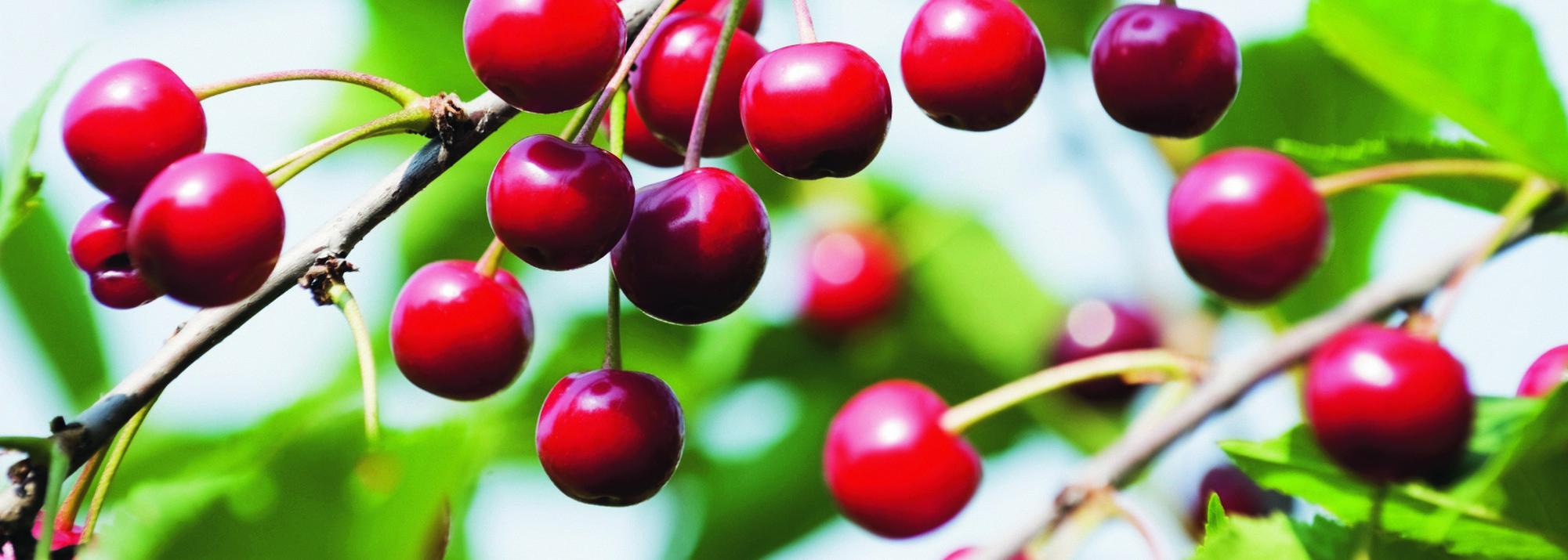 Arbre Fruitier En Pot Interieur arbres fruitiers de saison - botanic®