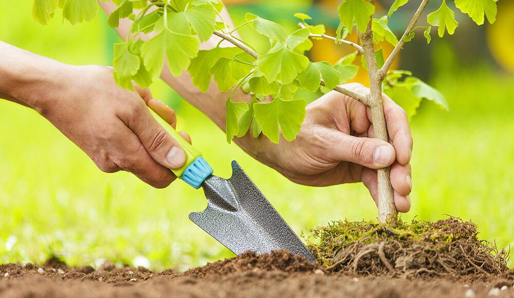 Planter mes grands arbustes