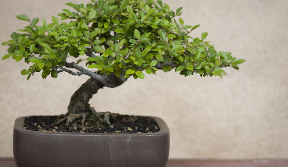 Un bonsai pour votre maison