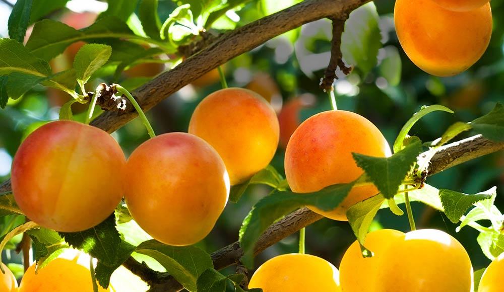 Les fruitiers à racines nues