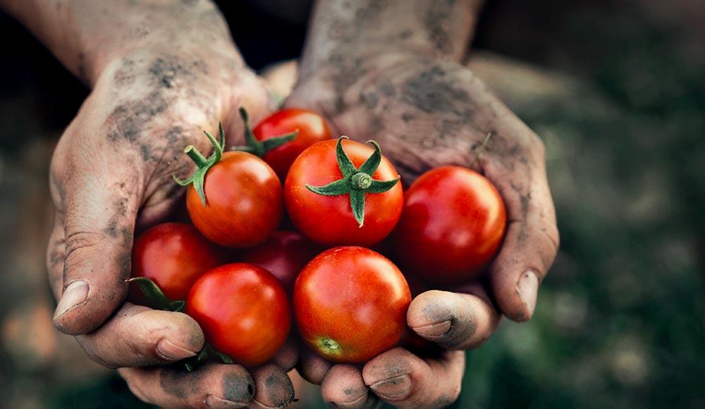 Mes tomates à semer