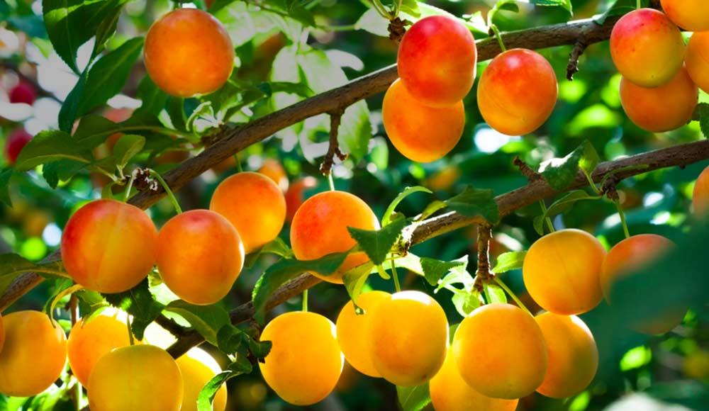 Les abricotiers
