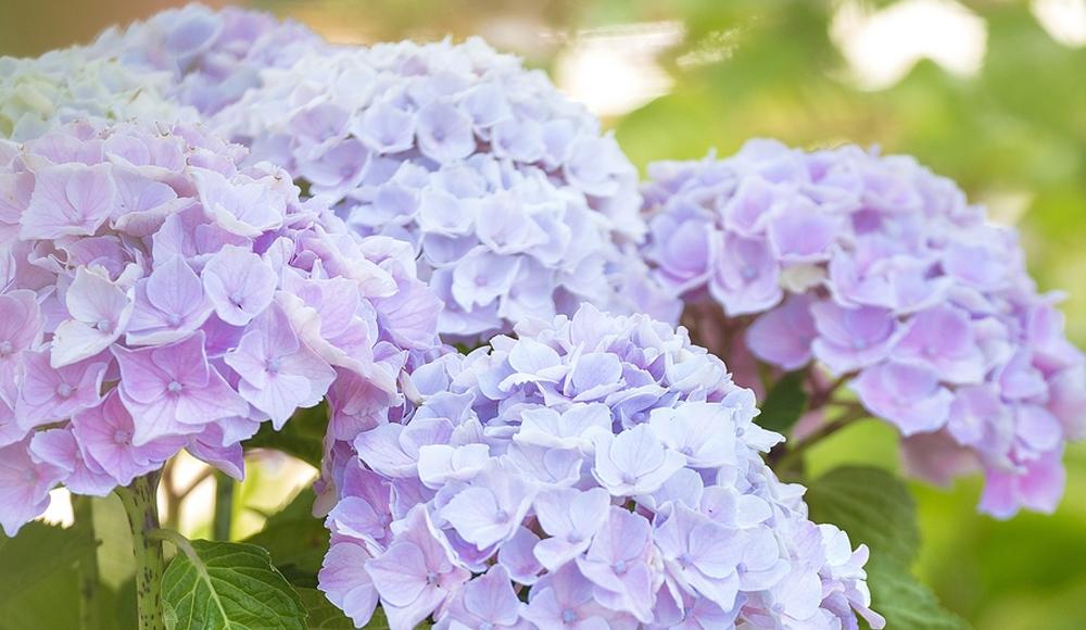 Les hortensias, plantation et entretien