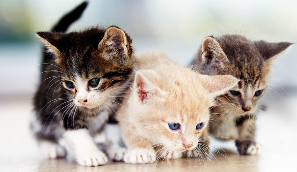 Les races de chat