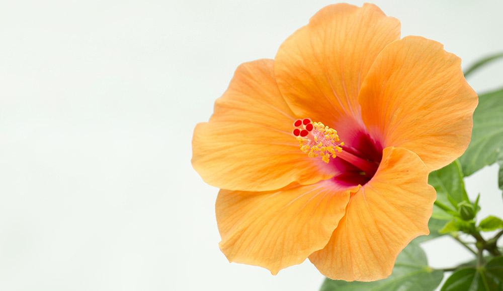 Des hibiscus origine France