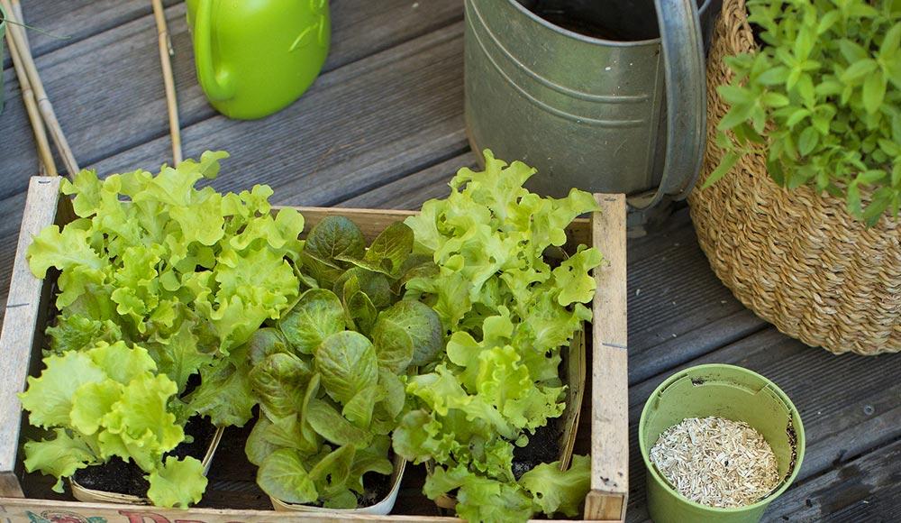 Plantons nos salades