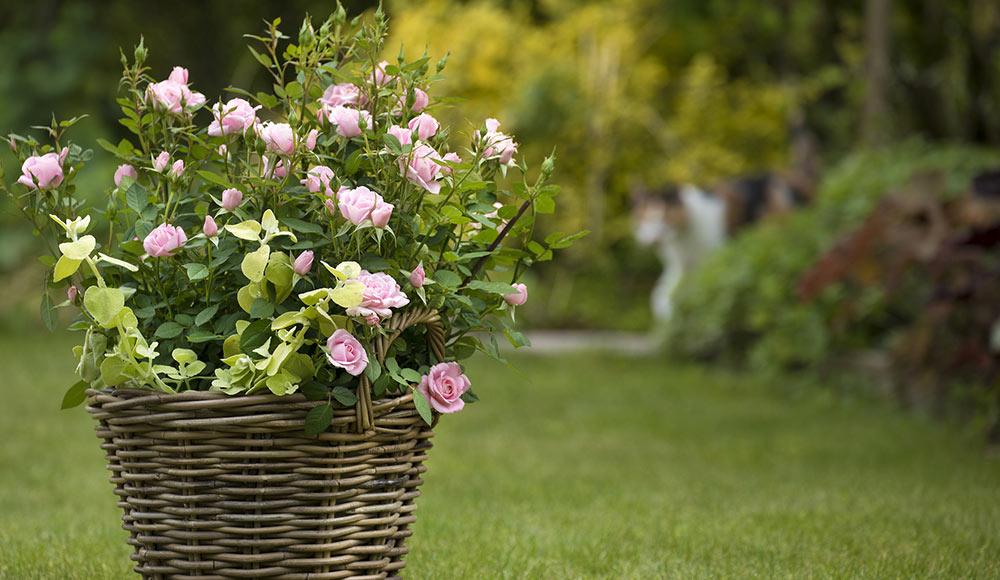 Notre collection de rosiers