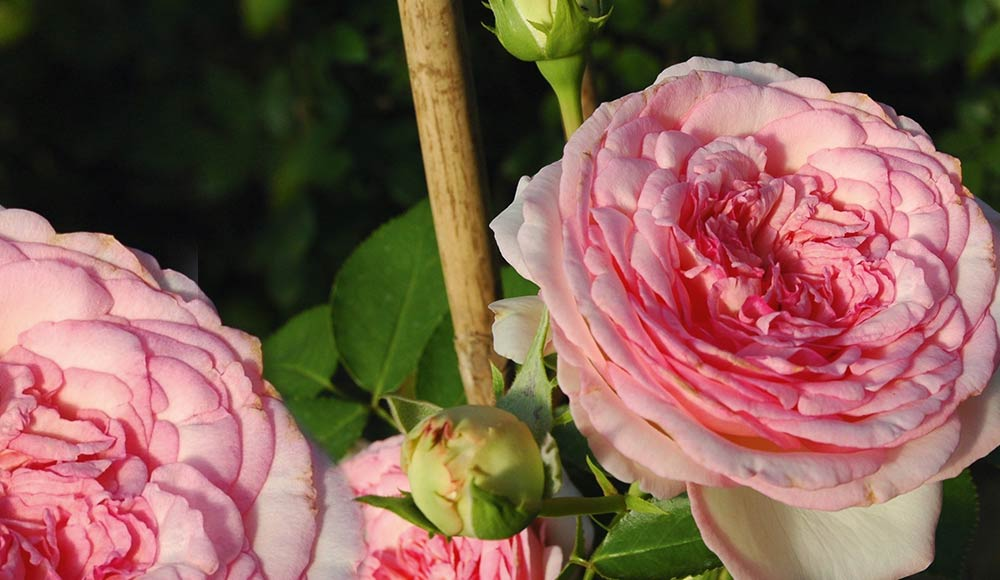 Des roses éclatantes
