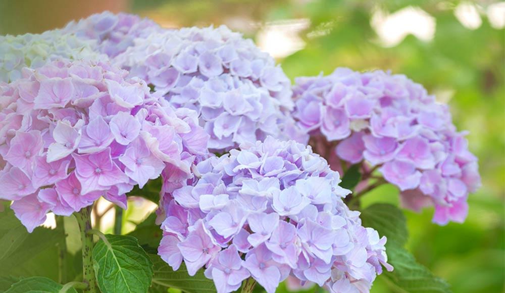 Hortensia colorés