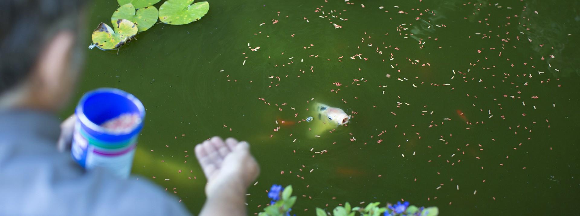 Alimentation poissons de bassin botanic